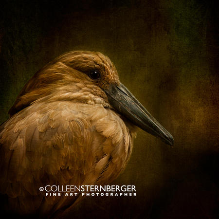 """Garden City"", Hamerkop, KS, ""Lee Richardson Zoo"", birds, ciconiiformes, zoo, AZA, birds, feathers, flamingo, phoenicapteriformes, pink, water, ""fine art photography"", ""limited edition giclée  print"""