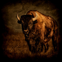 """morning bison"", Buffalo, ""Zapata Ranch"", bison, ""fine art photography"", ""limited edition"", western, ""western art"""