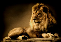"""razis rock"", AZA, ""Garden City"", KS, ""King of Beasts"", ""Lee Richardson Zoo"", ""big cat"", carnivore, ""fine art photography"", ""limited edition giclée  print"", lion, ""sepia toned"", zoo"