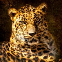 "Animals, Cats, LRZ, ""amur leopard"", ""animal ambassador"", ""big cats"", zoo, endangered, ""critically endangered"""