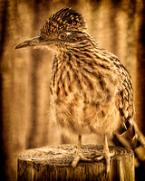 """Garden City"", KS, ""Lee Richardson Zoo"", birds, feathers, ""road runner"", zoo, AZA, ""fine art photography"", ""limited edition giclée  print"""