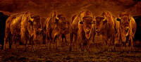 "bison, ""Zapata Ranch"", bison, brown, buffalo, ""fine art photography"", ""limited edition"", western, ""western art"""