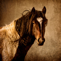 """McCullough Peaks"", Wyoming, equine, ""equine photography"", ""fine art photography"", ""the american west"", western, ""western photography"", wild, ""wild horses"", wild horse head shot"""